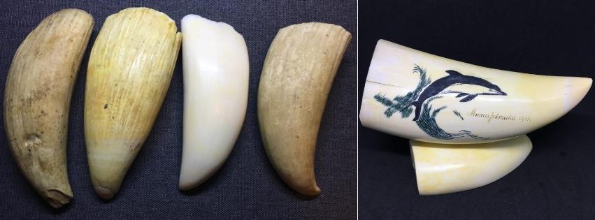 зуб кашалота