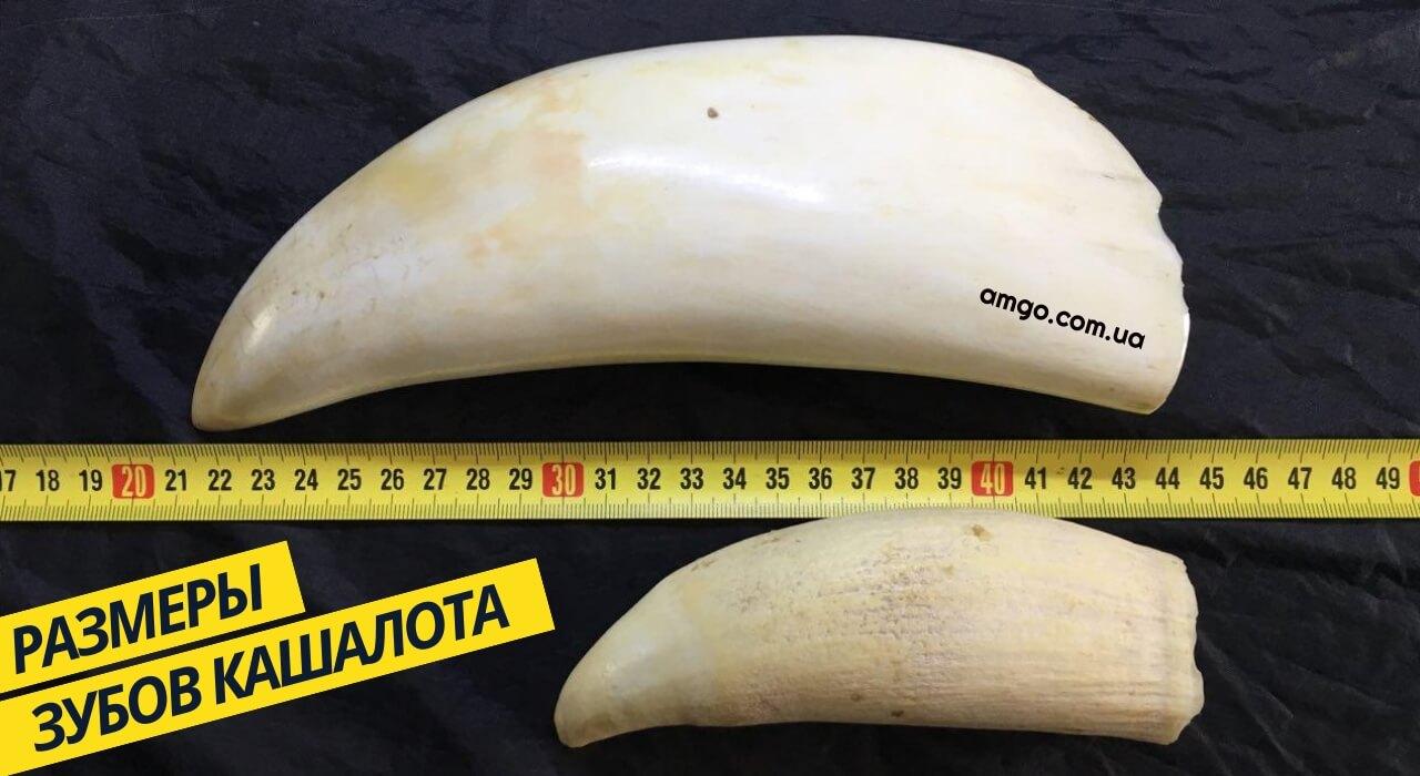размер зуба кашалота
